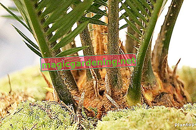 Caring for cycads properly