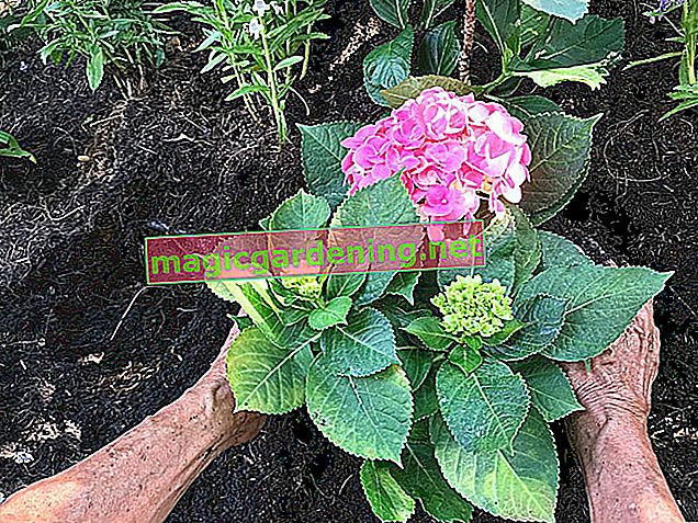 Which soil does the hydrangea prefer