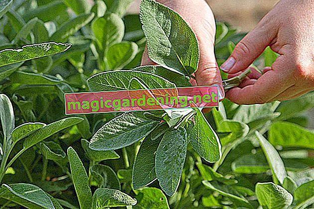 Harvest fresh thyme all year round