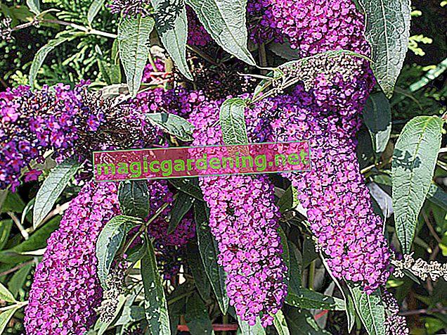 Буддлея - місце розташування, рослини, розмноження