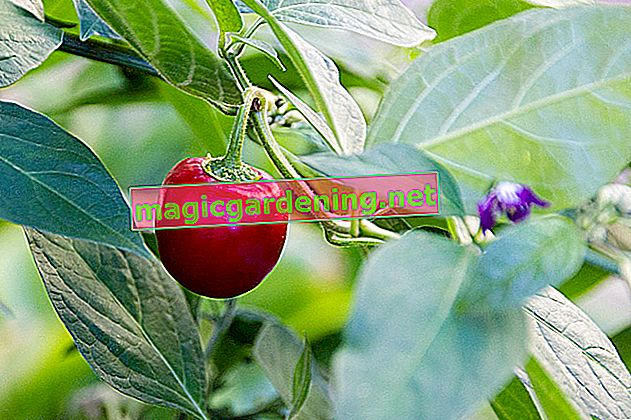Peppers on the balcony - plant them properly and enjoy them spicy