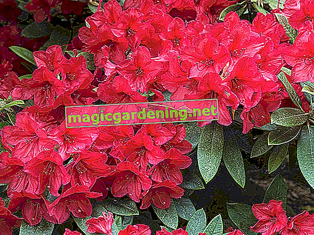 Rhododendrons multiplying made easy