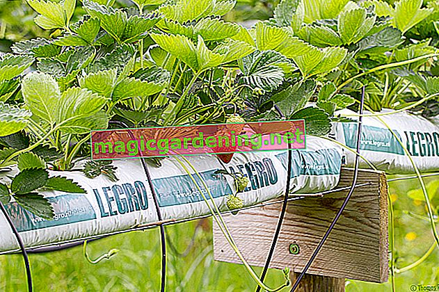 Plant strawberries correctly in the raised bed
