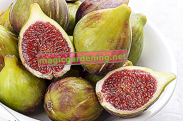 Storing figs - this is how you process the fig harvest