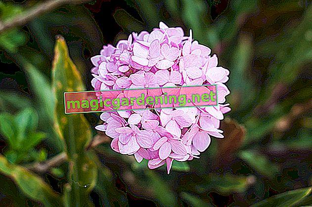 Do hydrangeas thrive in a sunny spot?