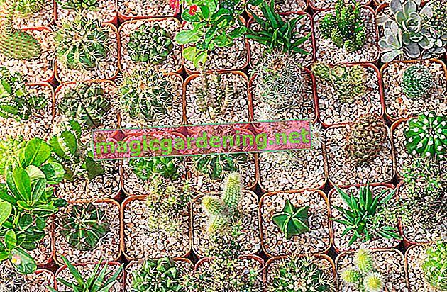 La Calathea è disponibile in molti tipi diversi
