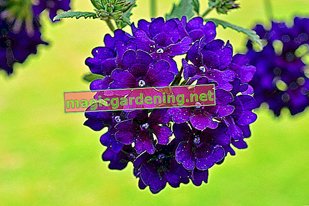 Verbena: plant and care