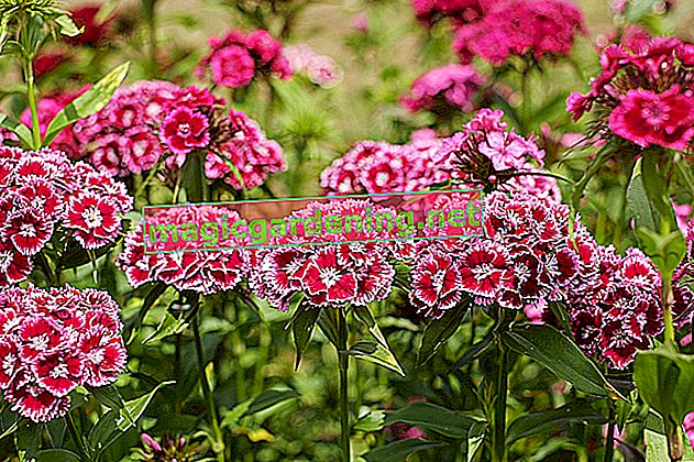 Plant and care for carnations