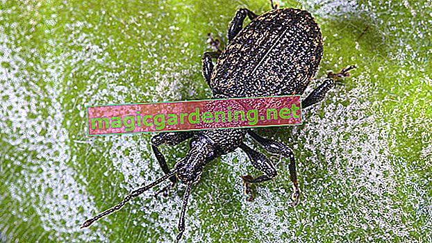 Fight black weevils with home remedies