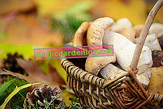 Mushrooms in your own garden
