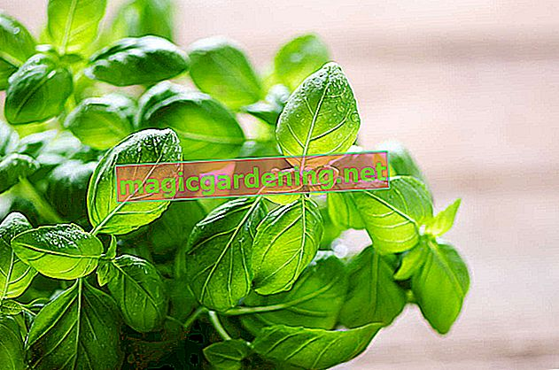 Cut basil properly - harvest and care for it skillfully