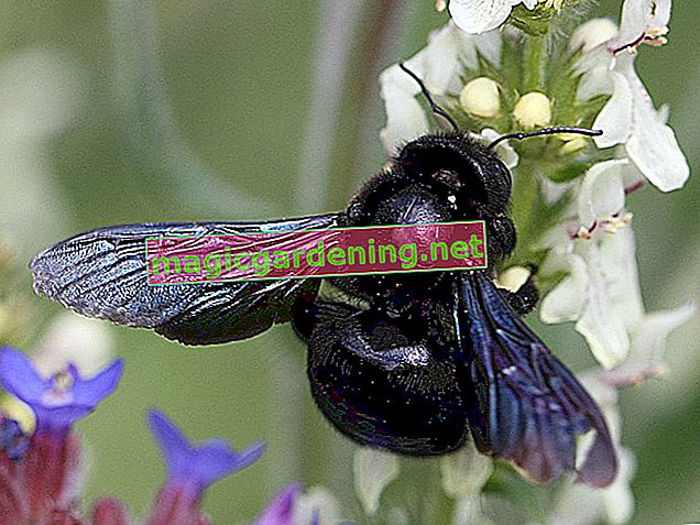 Wooden bee: The black and blue wild bee