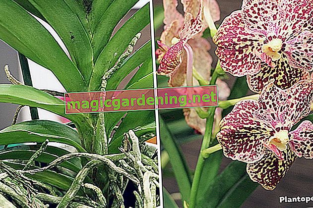 Orhideja Vanda: pravilno se brine za nju