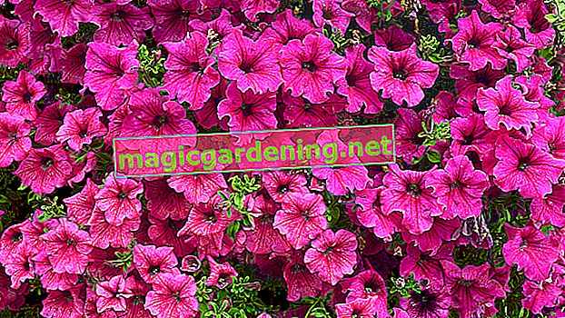 Petunias: planting and caring for