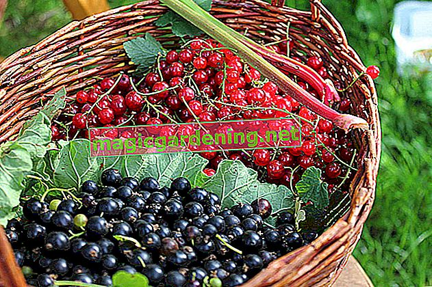 What diseases do red currants occur in?