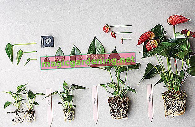 Anthurium: cura e varietà