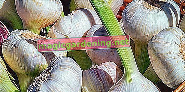 Metti l'aglio nel modo giusto: è così che funziona