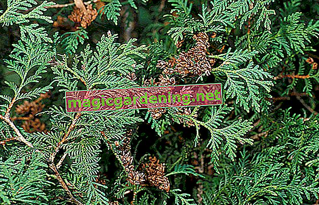 Thuja is poisonous for humans and animals!