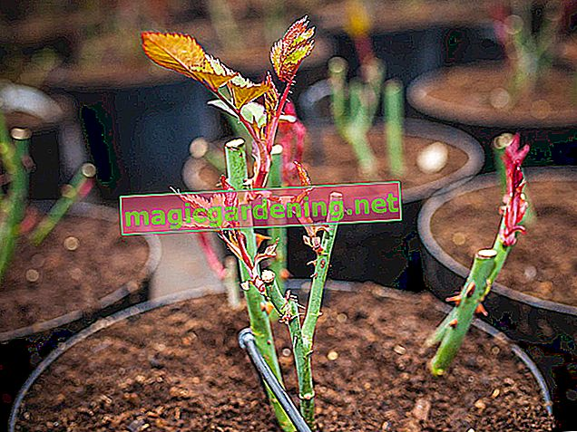 Propagate roses yourself by cuttings