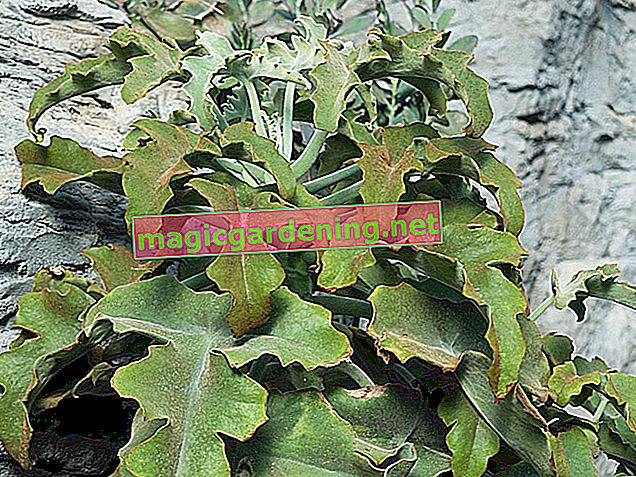The reproduction of the Kalanchoe Beharensis (elephant ear)