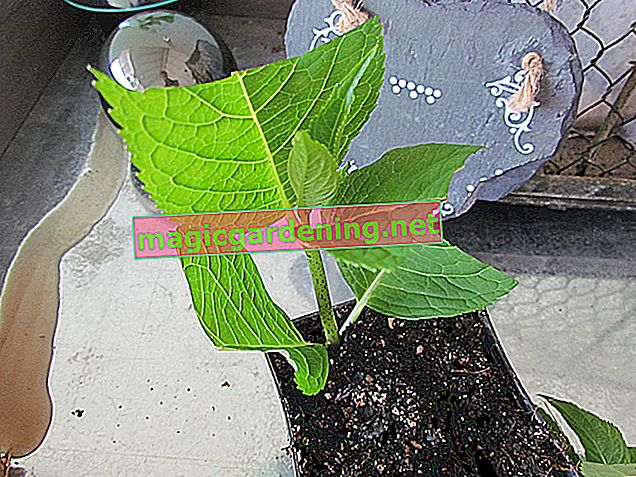 Exemplary propagation of grapevines with cuttings and subsets