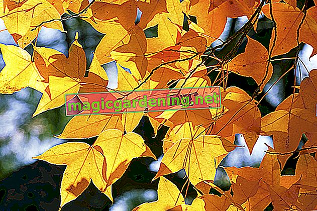 Sweetgum tree: care and pruning
