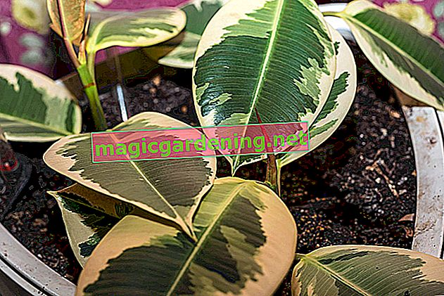 Magnolia is difficult to propagate using cuttings