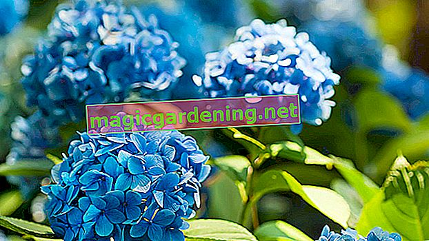 How to Properly Prune Your Oak Leaf Hydrangea - Top Tips