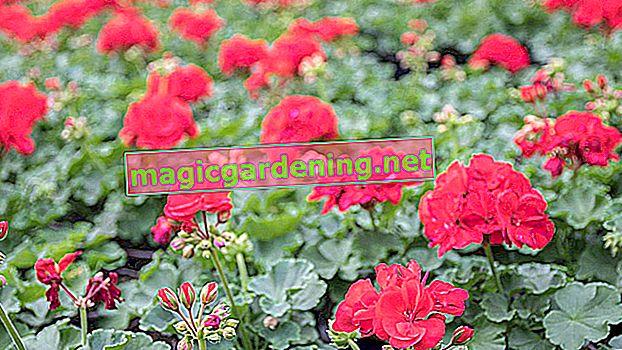 I gerani sono piante ideali per il balcone