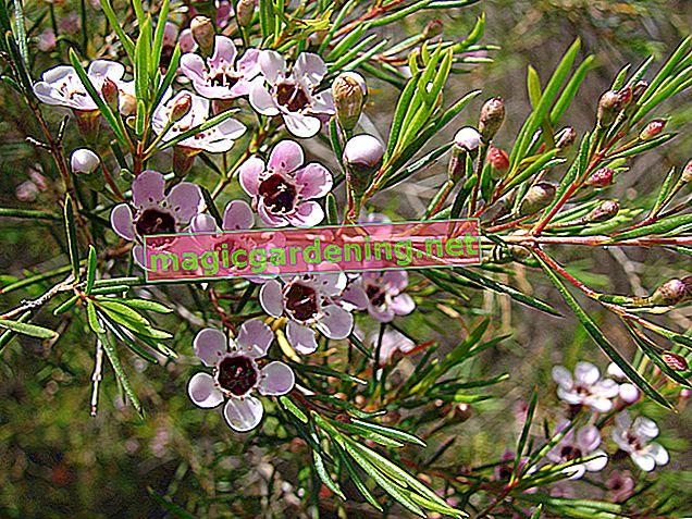 Chamelaucium: prenditi cura del fiore di cera australiano