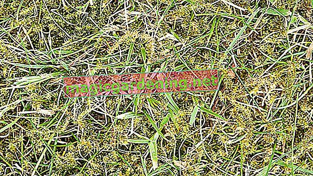 Як ви можете видалити мох на газоні, не скарифікуючи?