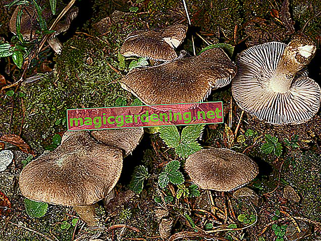 Do not collect oyster mushrooms until late autumn