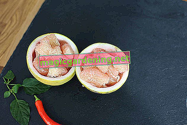Growing pomelo - the instructions
