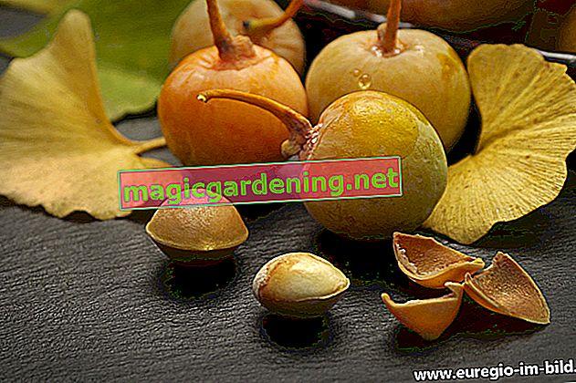 Fatti interessanti sul frutto del ginkgo