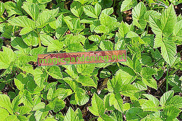 Sambuco macinato - caratteristiche delle sue foglie