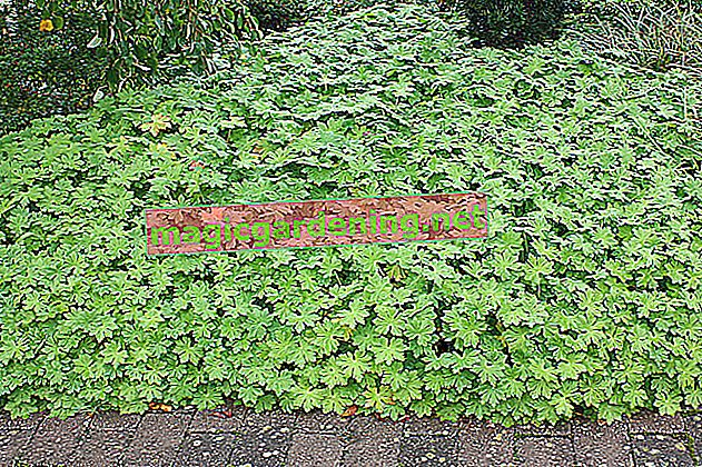 Ground cover instead of lawn - tips for lawn replacement