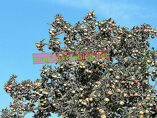 Stablo jabuke kao visoko deblo