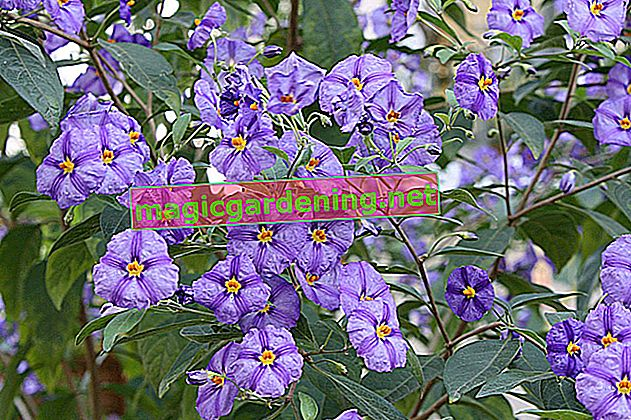 Solanum rantonnetii - demanding care for gentian bush