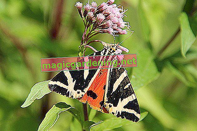 Upoznajte bolje admiralskog leptira