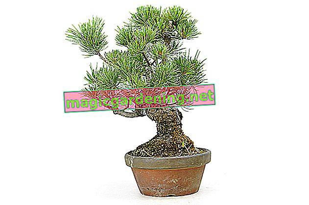 Japanese umbrella fir: height, width, growth habit
