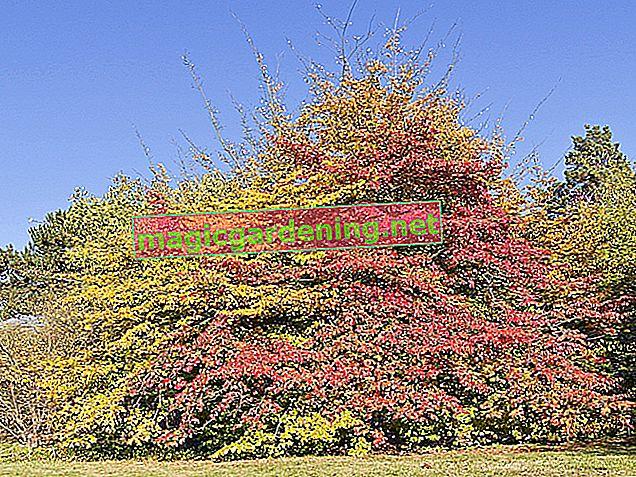 Albero di Ironwood: piantare e mantenere (parrotia)