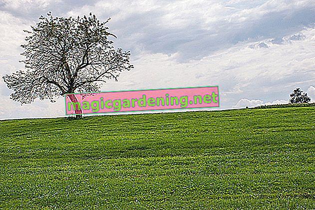 Jacaranda ağacı dayanıklı değil
