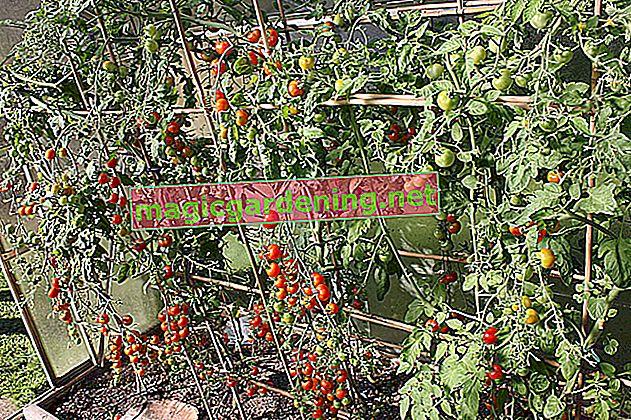 Hobi bahçesinde düzgün kokteyl domates dikmek
