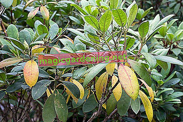 Le foglie marroni sull'oleandro possono avere molte cause