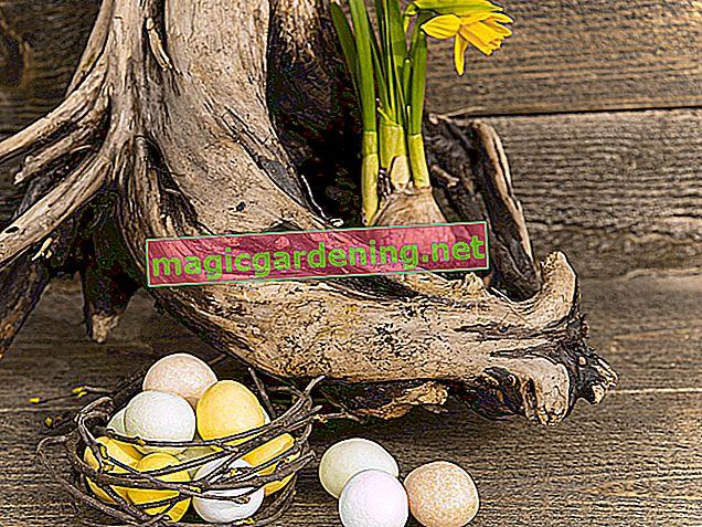 Preferisci i giacinti in un barattolo - coltivazione di piante decorative