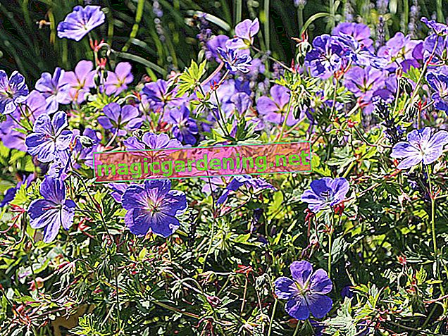 "Cranesbill ""Rozanne"" - the right care for the permanent bloomer"