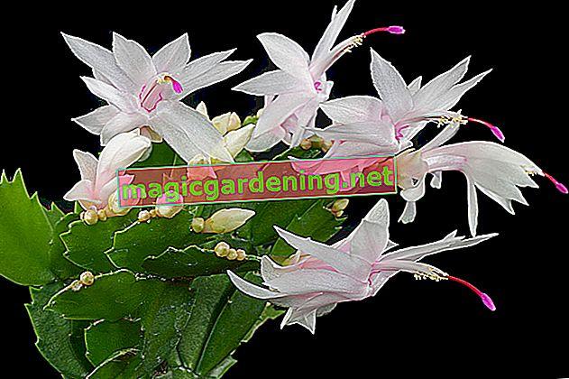 Schlumbergera truncata (cactus di Natale) - consigli per la cura