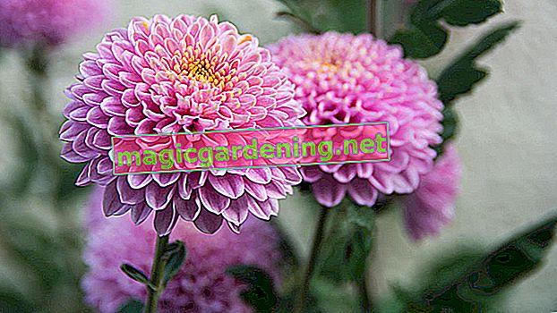 Come tagliare correttamente i crisantemi: consigli e suggerimenti