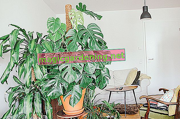 Monstera: The best care tips