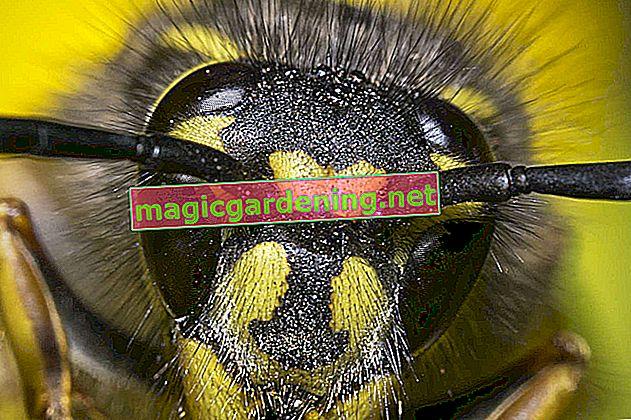 Common wasp - way of life and sensitive handling